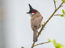 Red-whiskered bulbul. Bird in an Indian forest Stock Photo