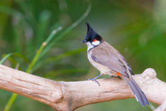 Red-whiskered Bulbul bird Stock Photo