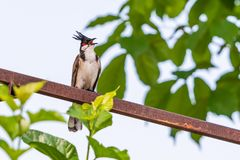 A red-whiskered bulbul bird is singing. With the sharp tone Royalty Free Stock Images
