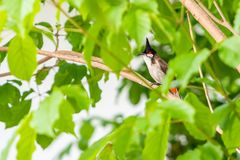 A red-whiskered bulbul bird sit on a tree branch. A red-whiskered bulbul bird sit on a tree branch during the summer day Stock Photos
