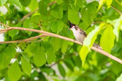 A red-whiskered bulbul bird sit on a tree branch. A red-whiskered bulbul bird sit on a tree branch during the summer day Stock Image