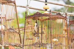 Red-whiskered bulbul birdcage sound competitions. Red-whiskered bulbul sound competitions in thailand Stock Photos