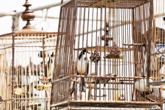 Red-whiskered bulbul birdcage sound competitions. Red-whiskered bulbul sound competitions in thailand Royalty Free Stock Photography