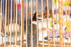 Red-whiskered bulbul birdcage sound competitions Stock Images