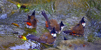 Red whiskered bulbul birds Stock Photography