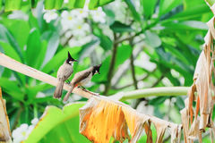 Red-whiskered bulbul. S are hanging on dry branches Royalty Free Stock Photos