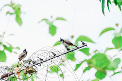 Red-whiskered bulbul. S are hanging on dry branches Stock Images