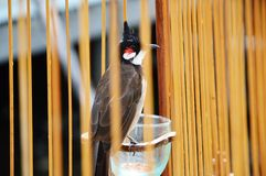 Red-whiskered bulbul in the cage Stock Image
