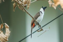 The red-whiskered bulbul or crested bulbul sit on the branch. The red-whiskered bulbul or crested bulbul, is a passerine bird found in Asia. It is a member of Stock Photos
