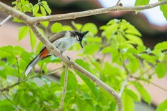 The red-whiskered bulbul or crested bulbul sit on the branch. The red-whiskered bulbul or crested bulbul, is a passerine bird found in Asia. It is a member of Stock Photography