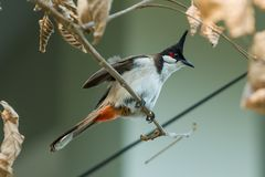 The red-whiskered bulbul or crested bulbul sit on the branch. The red-whiskered bulbul or crested bulbul, is a passerine bird found in Asia. It is a member of Stock Photo