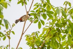 The red-whiskered bulbul sit on the tree branch. The red-whiskered bulbul or crested bulbul, is a passerine bird found in Asia. It is a member of the bulbul Royalty Free Stock Photos