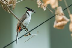 The red-whiskered bulbul or crested bulbul sit on the branch. The red-whiskered bulbul or crested bulbul, is a passerine bird found in Asia. It is a member of Royalty Free Stock Image