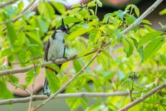 The red-whiskered bulbul or crested bulbul sit on the branch. The red-whiskered bulbul or crested bulbul, is a passerine bird found in Asia. It is a member of Royalty Free Stock Images