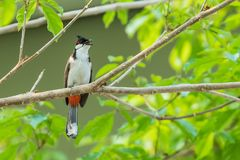 The red-whiskered bulbul or crested bulbul sit on the branch. The red-whiskered bulbul or crested bulbul, is a passerine bird found in Asia. It is a member of Royalty Free Stock Photos