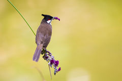 Red whiskered Bulbul eating flower. With beautiful green background Royalty Free Stock Images