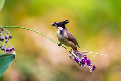 Red whiskered Bulbul eating flower. With beautiful green background Royalty Free Stock Photography