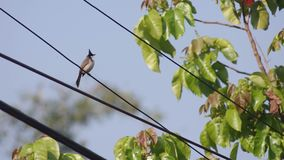 Red-whiskered bulbul on electric line stock video