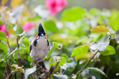 Red-whiskered bulbul in foliage Stock Photography