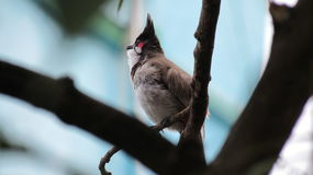 Red whiskered bulbul. Getting ready for another day to spend when the sky is clear and the roads are wet full with delicious food Royalty Free Stock Image