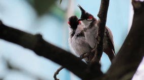 Red whiskered bulbul. Peacefully Resting after a Rainy day. A perfect Time to rest on a branch of a tree Stock Photo