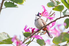 Red-whiskered bulbul standing on tree branch Royalty Free Stock Images