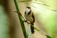 Red-whiskered Bulbul (Pycnonotus jocosus) Stock Photo