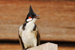 Red-whiskered bulbul Pycnonotus jocosus Royalty Free Stock Photos