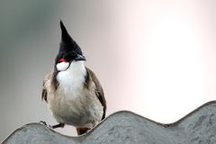 Red-whiskered Bulbul Royalty Free Stock Images
