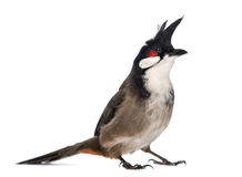 Red-whiskered Bulbul - Pycnonotus jocosus Stock Photography