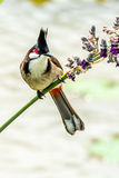 Red-whiskered Bulbul. Pycnonotus jocosus in Macao on April Royalty Free Stock Images