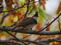 Red Whiskered Bulbul - Pycnonotus jocosus from Mauritius Stock Photo