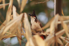 Red-whiskered bulbul. The Red-whiskered Bulbul (Pycnonotus jocosus) is a passerine bird found in Asia. It is a member of the bulbul family. It is a resident Royalty Free Stock Photography