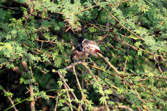 Red- whiskered Bulbul. Red-whiskered Bulbul Sitting in the branch of a tree Stock Image
