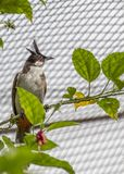 Red Whiskered Bulbul Stock Images