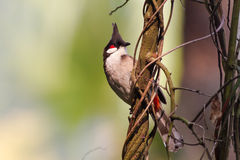 Red whiskered Bulbul standing on vine Stock Photo