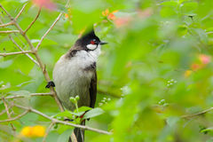 Red-whiskered Bulbul Stock Photography