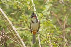 Red-whiskered Bulbul in a tree. In Nagarhole National Park in India Stock Photography