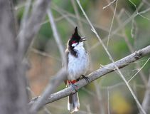 Red Whiskered Bulbul in Wilds Royalty Free Stock Images