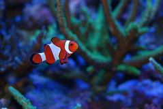 Red and white. Nemo type fish swimming in coral reef Stock Image