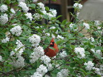 Red upon White. Bright red cardinal sitting upon white flowered bush with beautiful appearance royalty free stock photography