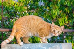 Red and white adorable cat looking at camera . Cute kitty in garden. Young cat concept. Wild red cat. Pet portrait. Cat posing Royalty Free Stock Photos