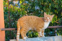 Red and white adorable cat looking at camera . Cute kitty in garden. Young cat concept. stock photos