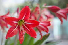 Red White Alstroemeria flower - Lilies of the incas Royalty Free Stock Photo