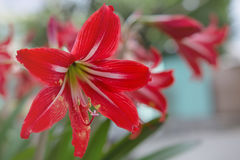 Red White Alstroemeria flower - Lilies of the incas Royalty Free Stock Images