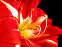 Red and White Amaryllis Stock Photography