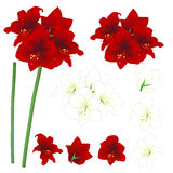 Red and White Amaryllis - Hippeastrum. Christmas Flower. Vector Illustration. isolated on White Background Royalty Free Stock Photos