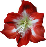 Red and white amaryllis isolated bloom Royalty Free Stock Image