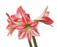 Free Red & White Amaryllis Isolated On White Stock Photography - 40084282