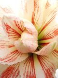 Red and White Amaryllis Petals. Red and white Amaryllis flower close-up. The striped petals are radiating from the center of the flower Stock Image